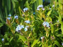 Fiori blu del miosotis del nontiscordardime nel giardino fotografie stock libere da diritti