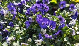 Fiori blu del Pansy fotografie stock libere da diritti