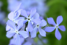 Fiori blu del Phlox Immagini Stock