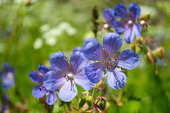Fiori blu del prato Fotografie Stock