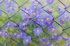 Fiori blu del primo piano su fondo di vecchio recinto arrugginito della rete metallica immagini stock