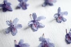 Fiori blu del rododendro Fotografie Stock