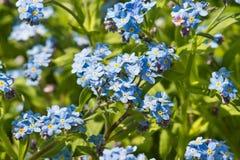 Fiori blu delicati del lat alpino del giardino del nontiscordardime Aiola di hybrida del miosotis in primavera Fotografia Stock