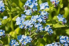 Fiori blu delicati del lat alpino del giardino del nontiscordardime Hybrida del miosotis, inglese Nontiscordardime con un centesi Immagini Stock