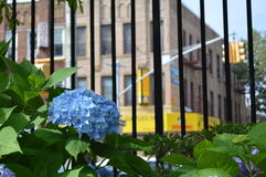Fiori blu dell'ortensia con la vista della città ai precedenti Fotografie Stock Libere da Diritti