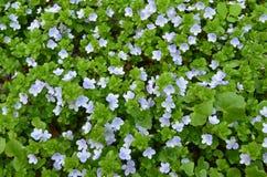 Fiori blu della foresta di estate Fotografie Stock