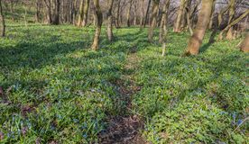 Fiori blu della gloria-de--neve Fotografia Stock