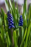 Fiori blu della primavera con erba verde Fondo fotografie stock