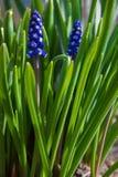 Fiori blu della primavera con erba verde Fondo immagini stock