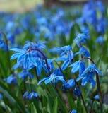 Fiori blu della sorgente Immagine Stock