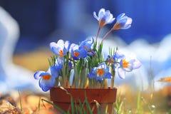 Fiori blu della sorgente Fotografie Stock Libere da Diritti