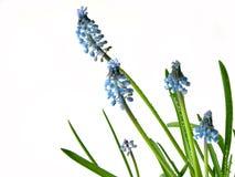 Fiori blu della sorgente su bianco Fotografia Stock Libera da Diritti