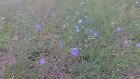 Fiori blu della steppa che ondeggiano nel vento stock footage