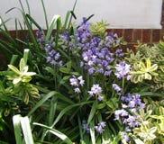 Fiori blu di Bluebell lungo il confine del giardino Fotografia Stock