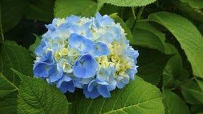 Fiori blu di fioritura su un cespuglio verde Immagine Stock