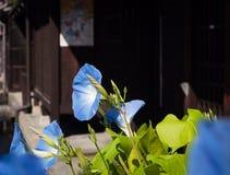 Fiori blu di ipomea Immagini Stock
