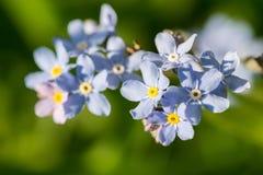 Fiori blu di myosotis di Timelittle, tempo di molla Fotografia Stock