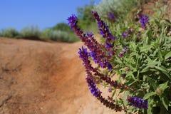 Fiori blu di una pianta selvatica sul bordo della strada Fotografia Stock
