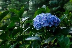 Fiori blu dopo pioggia Fotografia Stock