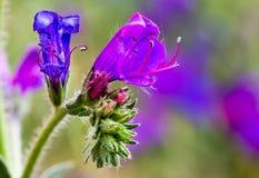 Fiori blu e rosa sulla pianta blu dell'erbaccia Immagini Stock