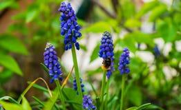Fiori blu e un'ape fotografia stock libera da diritti