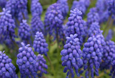 Fiori blu e viola vibranti Immagine Stock