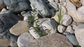 fiori blu ed erba verde fra le pietre Immagini Stock Libere da Diritti