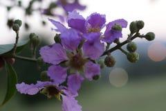 Fiori blu freschi di estate in maharashtra India fotografia stock libera da diritti