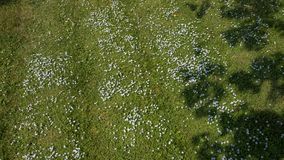 Fiori blu minuscoli su prato inglese verde fotografie stock libere da diritti