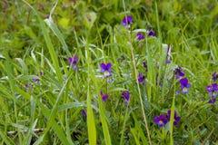 Fiori blu nell'erba fotografia stock libera da diritti