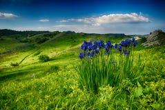 Fiori blu nelle montagne Fotografia Stock