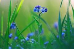 Fiori blu selvaggi della molla Fotografie Stock Libere da Diritti