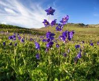 Fiori blu selvaggi in montagne Immagine Stock Libera da Diritti