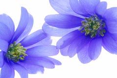 Fiori blu su bianco Immagine Stock