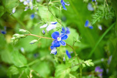 Fiori blu su un'erba verde fotografie stock
