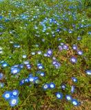Fiori blu sulla terra dell'erba verde fotografie stock