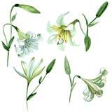 Fiori botanici floreali del giglio bianco Insieme dell'illustrazione del fondo dell'acquerello Elemento isolato dell'illustrazion royalty illustrazione gratis