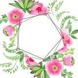 Fiori botanici floreali del ranunculus di rosa Insieme dell'illustrazione del fondo dell'acquerello Quadrato dell'ornamento del c illustrazione vettoriale