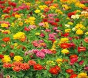 Fiori brillantemente colorati del tagete Fotografia Stock Libera da Diritti