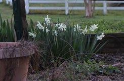 Fiori che fioriscono dopo un inverno rigido Immagini Stock Libere da Diritti