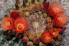 Fiori che fioriscono sul cactus di barilotto dell'Arizona Fotografia Stock