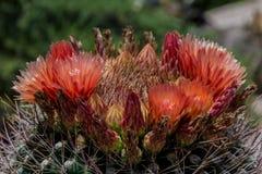 Fiori che fioriscono sul cactus di barilotto dell'Arizona Fotografia Stock Libera da Diritti
