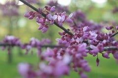 Fiori che fioriscono sul ramo fotografie stock libere da diritti