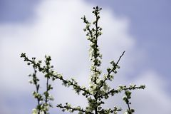 Fiori che fioriscono in un giardino della molla contro il contesto di un cielo blu luminoso, fondo, contesto della ciliegia susin fotografie stock