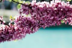 Fiori chinensis del bello Cercis di rosa sugli alberi con lo stagno urbano blu di vista confusa fotografia stock libera da diritti