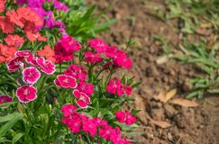 Fiori chinensis del Dianthus Fotografia Stock Libera da Diritti