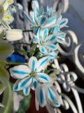 Fiori colorati dell'allium Fotografia Stock