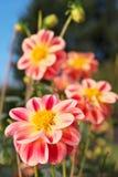 Fiori colorati rossi, bianchi e gialli luminosi della dalia fotografie stock