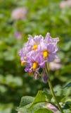 Fiori colorati viola in una pianta di patate Immagini Stock Libere da Diritti