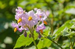 Fiori colorati viola in una pianta di patate Fotografia Stock Libera da Diritti